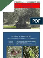 olivo_botanica