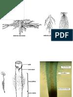 PPMorfologiaradaciniiRadmetamorfozate2007