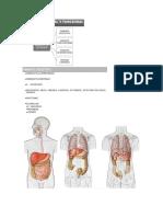 Anatomia 3.docx