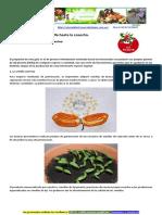Aji Picante, Su Cultivo y Cuidados