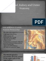 Adrenal ,Kidney and Ureter Anatomy