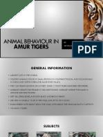 amur tiger research ppt
