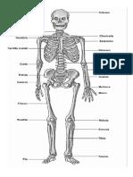 esqueleto humano.docx