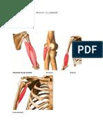 Anatomie-poze Mușchi Membre, Trunchi Cu Legenda
