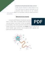La neurona es la unidad funcional fundamental del sistema nervioso (1).docx
