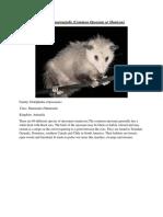 Didelphis marsupialis.docx