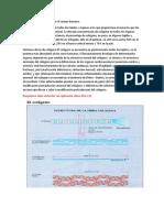 Distribución del colágeno en el cuerpo humano (2).docx