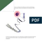 cromosomas.docx