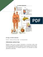El Yoga y Sistema Endocrino