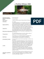 Bitterlingsbarbe, Puntius titteya, DNZ.docx