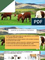 Metabolismo en Glandulas mamarias.pptx