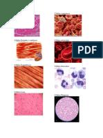 Células musculares.docx