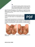 ANATOMÍA DEL PERINÉ.docx