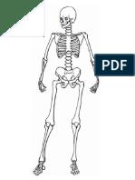 Esqueleto humano con sus partes.docx