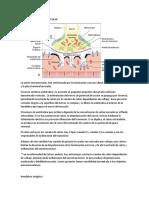 Transmision Neuromuscular