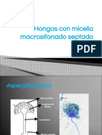 Hongos con micelio macrosifonado septado hialino