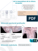 expo morfo musculos.pptx