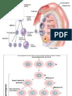 Curs Embrio Si Anexe Fetale