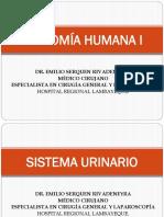 2. Sistema Urinario