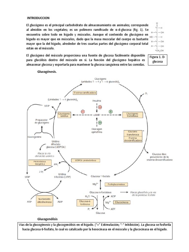 Introduccion - Glucógeno - Metabolismo