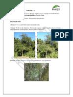 Coronillo PDF