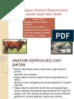 Perbedaan Sistem Reproduksi Pada Sapi Dan Babi
