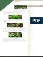 Como Plantar Espinafre _ Hortas.info