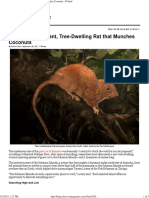 Discovered_ a Giant, Tree-Dwelling Rat That Munches Coconuts - D-brief