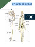 SISTEMA-NERVIOSO-NUEVO (1) neuro 2 imprimir.docx