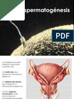 e Spermatogenesis