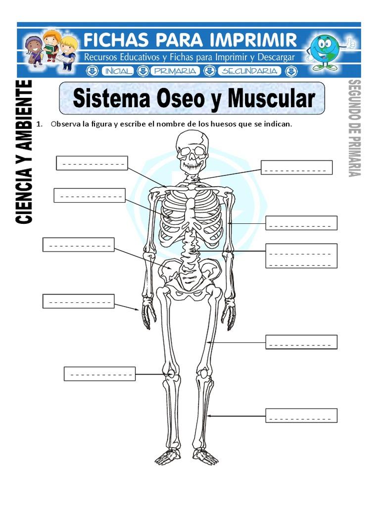 Sistema Oseo Ficha Hueso Esqueleto