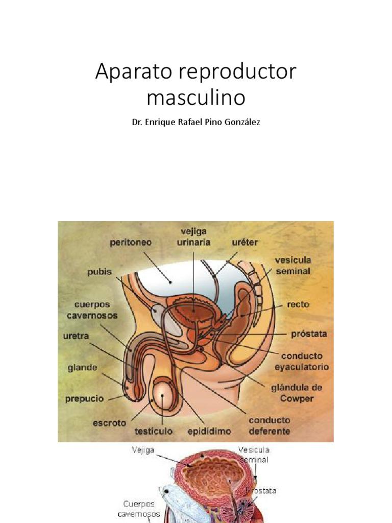 Aparato Reproductor Masculino Testículo Anatomía