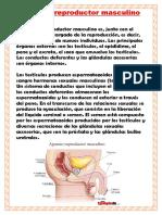 Aparato reproductor masculino.pdf