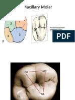 Maxillary Molar