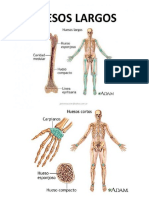 Huesos Largos y Huesos Cortos