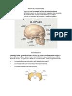 Anatomia Huesos Del Craneo y Cara