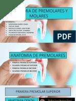 Anatomia de Premolares y Molares Final