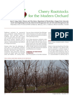 Cherry rootstocks modern sistems