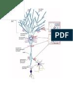 Neurotransmitters safeya effat.docx
