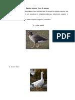 Cuidados y alimentacon de gansos2.docx