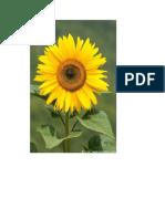 bunga matahari 4.doc