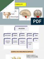 Diapositivas Neuroanatomia Puente de varolio