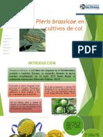 PIERIS BRASICAE