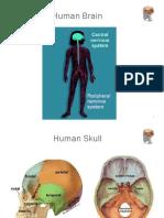 brainanatomy-converted.pptx