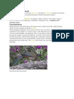 Aracuã-do-pantanal
