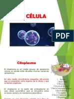 Celulas Citoplasma Nucleo (1)