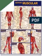 Resumão - Sistema Muscular