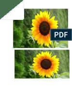 Bunga Matahari 12