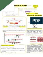 Microfilamentos de Actina.docx