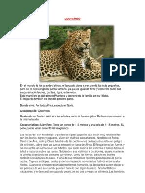 Leopardo Leopardo Felidae